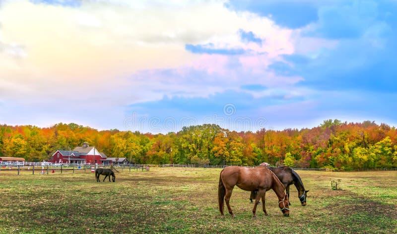 Höstlandskap av hästar som betar på en Maryland lantgård med nedgång c royaltyfri foto