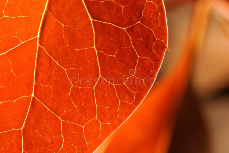 Download Höstleaves arkivfoto. Bild av leaves, tree, rött, skarpt - 284924