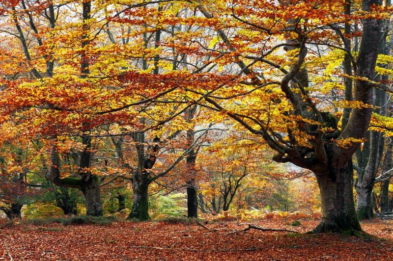 Höstlig bokträdskog royaltyfria bilder