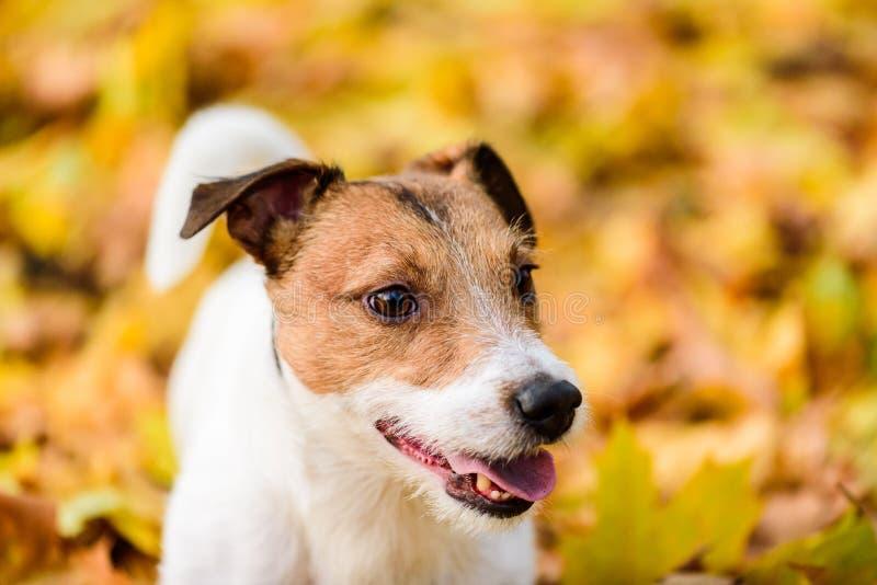 Höstlig stående av den gulliga Jack Russell Terrier hundvalpen royaltyfri bild
