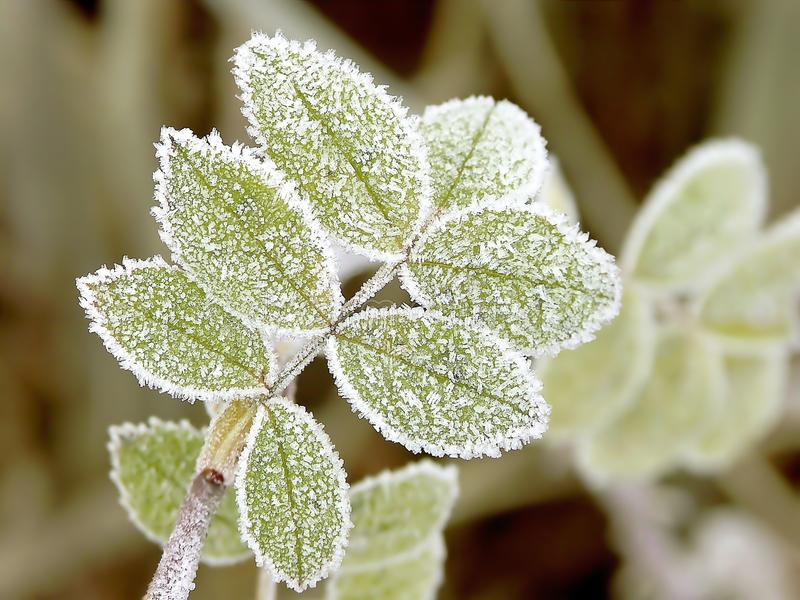 höstliga frostleaves royaltyfri foto