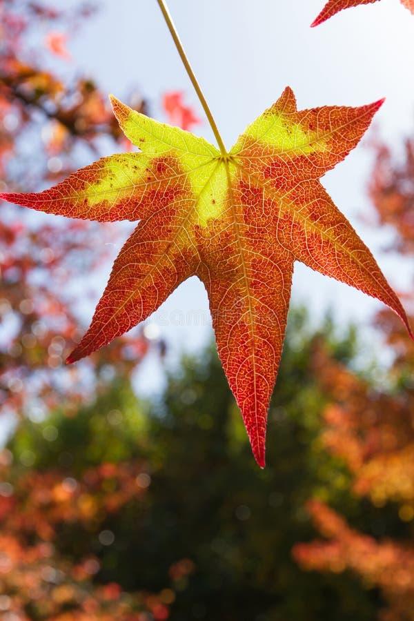Höstligt blad i rött och gult royaltyfri bild