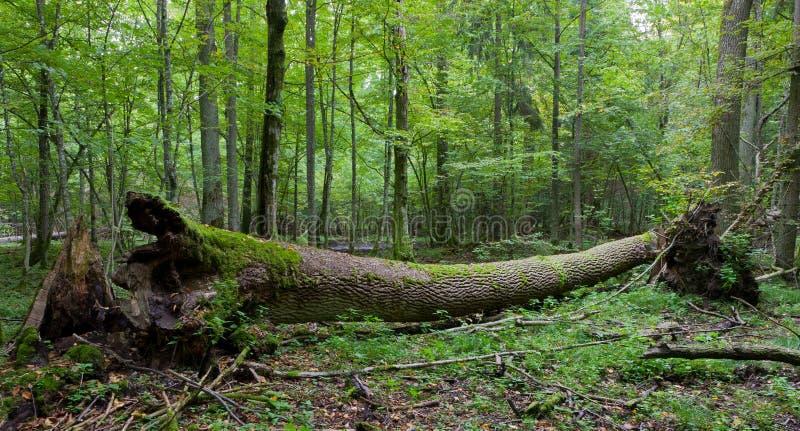 Höstligt deciduous stativ med den döda treen royaltyfria foton