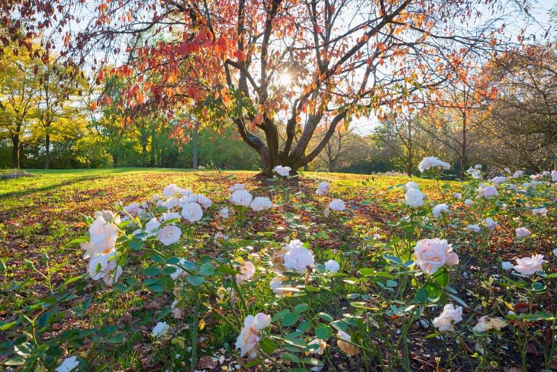 Höstligt parkera landskapet med det röda leaved körsbärsröda trädet och steg blomsterrabatten royaltyfria foton