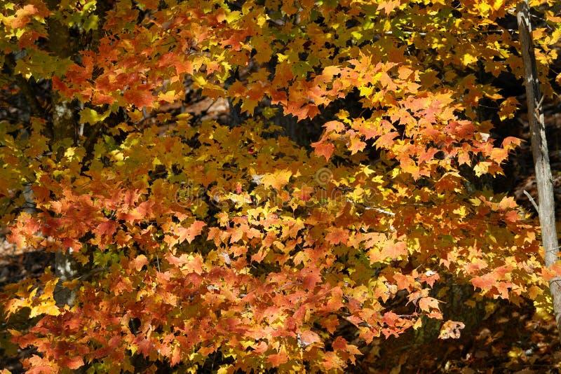 Höstmonteringsträd i jättefina rökiga berg arkivfoton