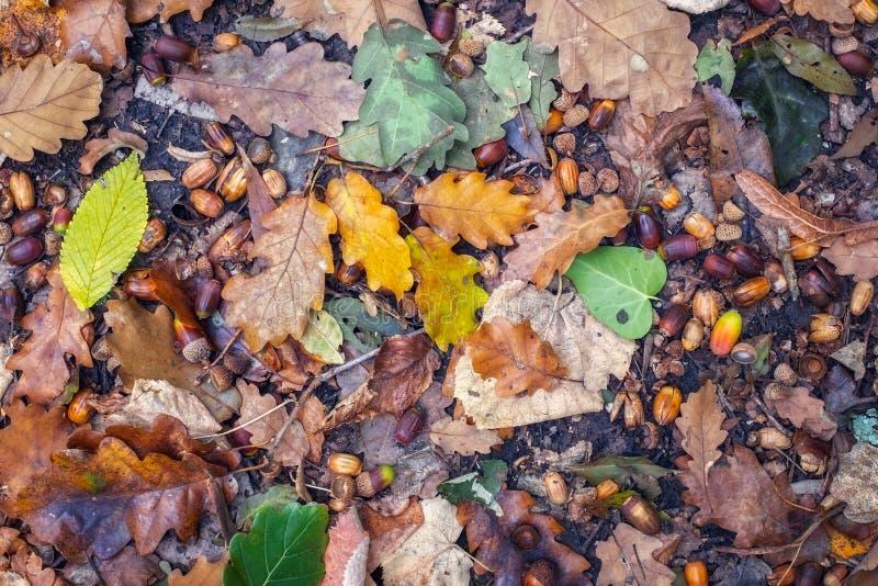 Höstplatsen med valnötter och torkar sidor på jordningen arkivfoto