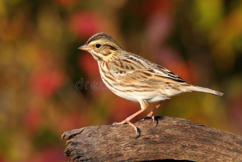 höstsavannahsparrow fotografering för bildbyråer