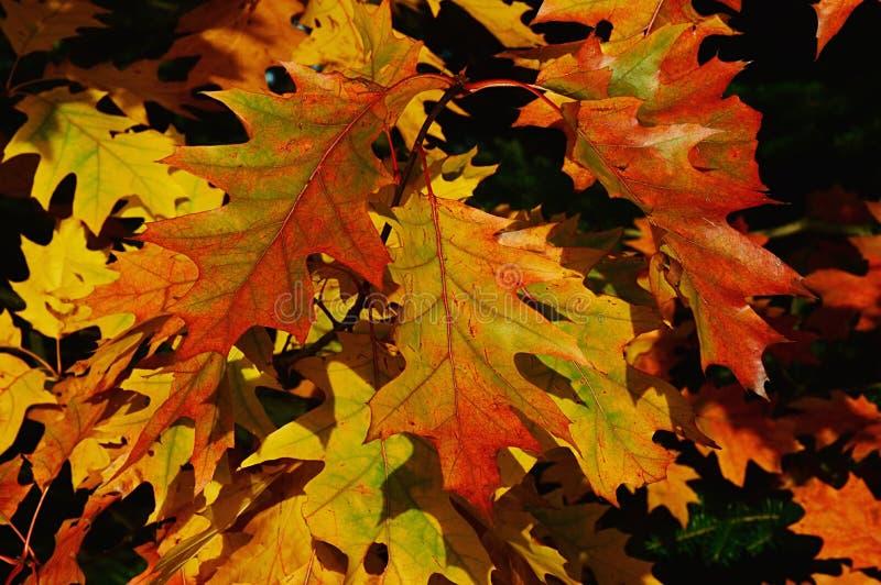 Höstsidor av den nordliga röda eken som kallas också mästareek, känd Quercus Rubra som för latin visar paletten av färger arkivfoto