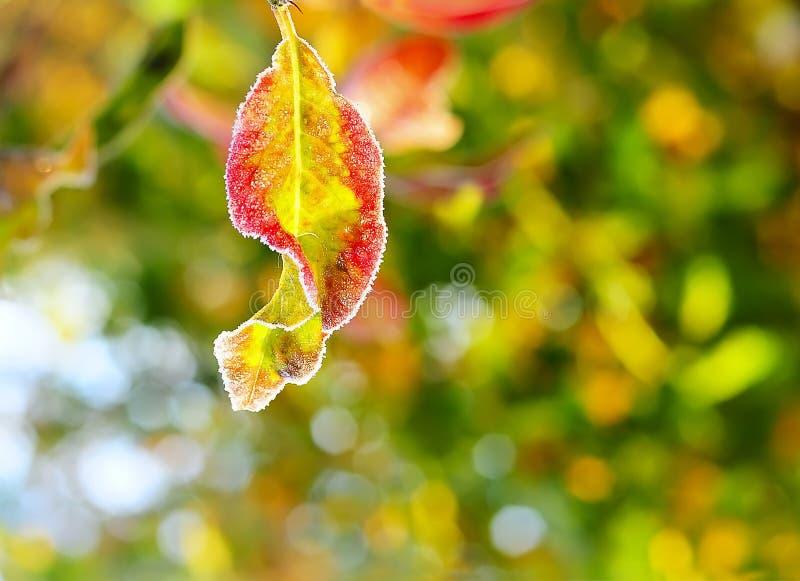 Höstsidor i ljusa färger av hösten och frosten på bakgrunden royaltyfria bilder