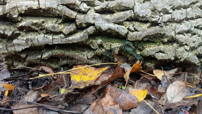 Höstsidor mot skället av ett träd arkivbild