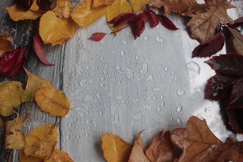 höstsidor och regndroppar på en grå färg royaltyfri foto