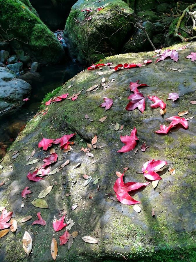Höstsidor, röd lönn, på den mossiga stenen i skogen royaltyfri foto