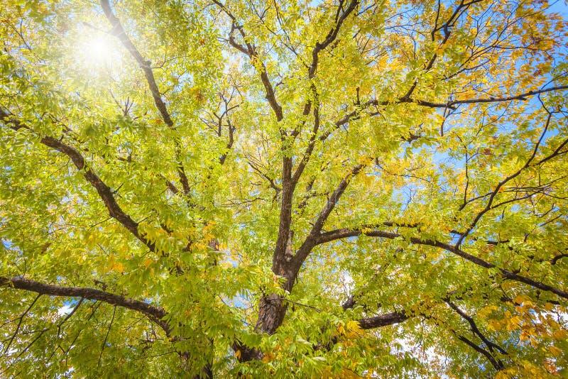 Höstsidor, unerträd i höst arkivfoto