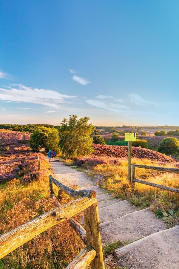 Höstsikt med den blommande heathlanden på nationalparken Veluwen royaltyfria bilder