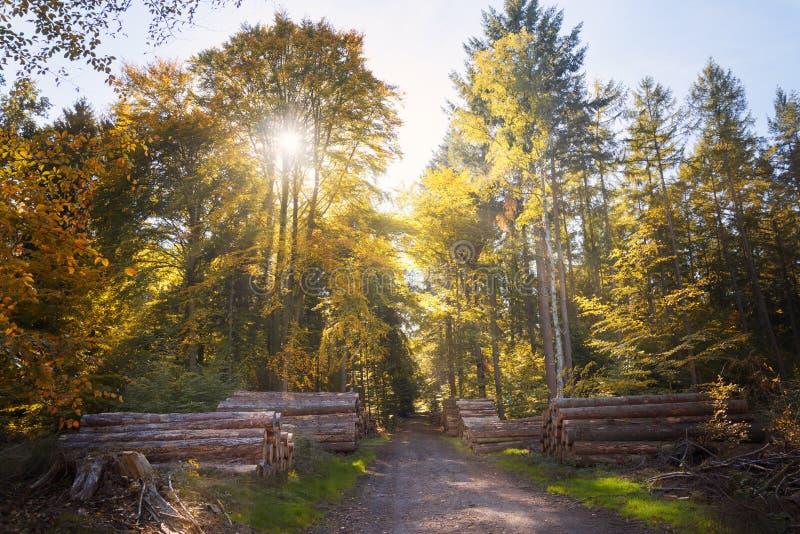 Höstskog i guld- solstrålar med buntar av avverkad trädtrun royaltyfri bild