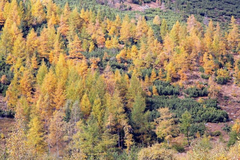 Höstskog på den Ziarska dolinaen - dal i höga Tatras, Slovaki arkivfoto