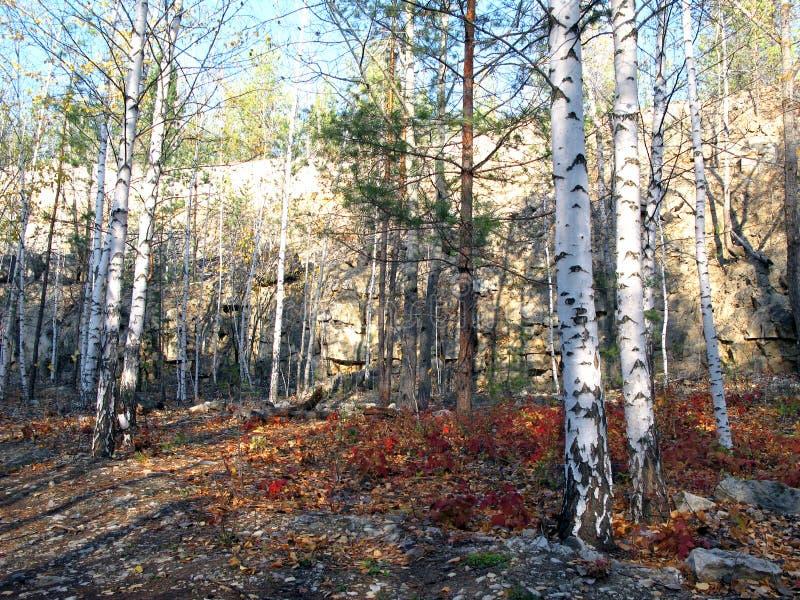 Höstskogen på bakgrund av himlen Björkar och sörjer i skogen royaltyfri fotografi