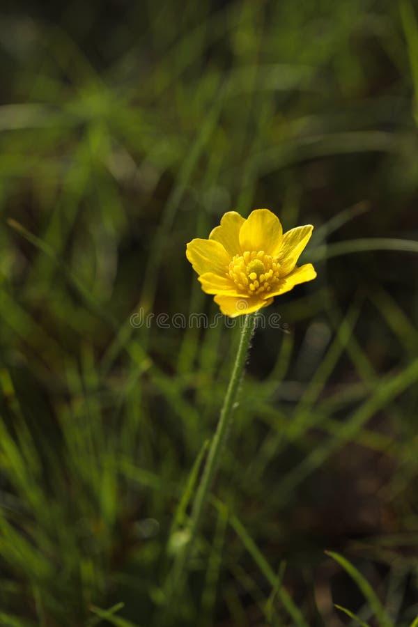 Höstsmörblomma, guld- knapp, Ranunculusbullatus fotografering för bildbyråer
