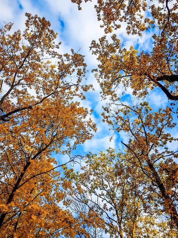 Höstträd i skog med guld- sidor mot den blåa himlen royaltyfri bild