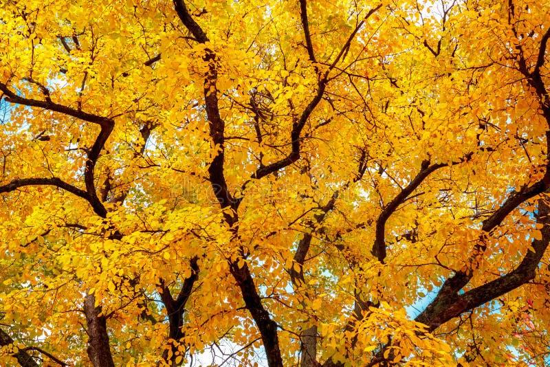 höstträd med ljusa gula sidor royaltyfri fotografi
