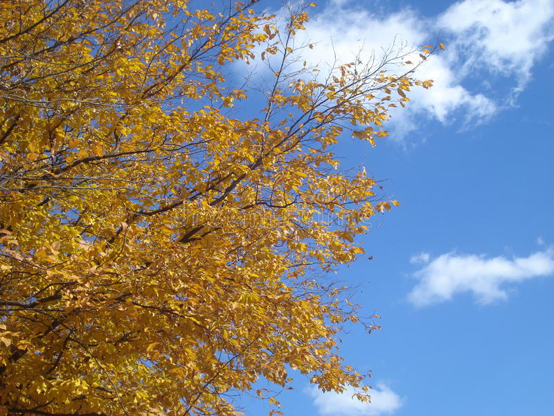 Höstträdfilialer med gulingsidor på blå himmel arkivfoton