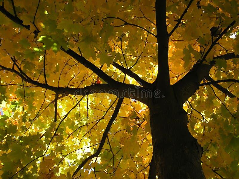 hösttree royaltyfria bilder