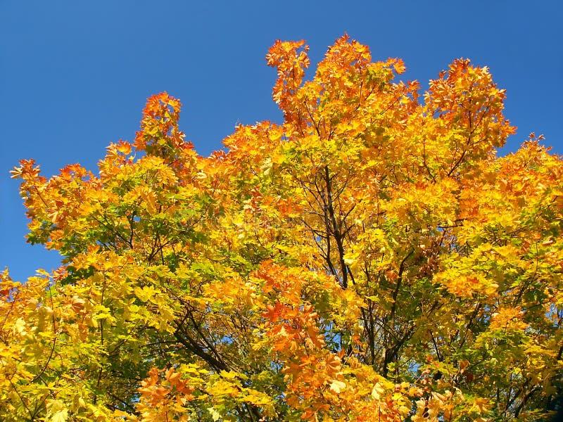 Download HöstTree fotografering för bildbyråer. Bild av leaf, brännhett - 280045