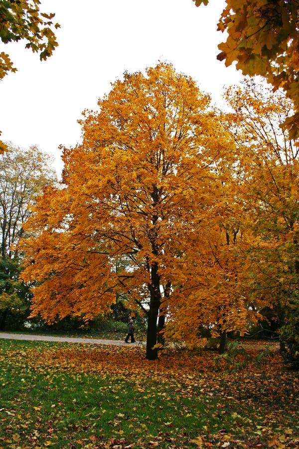 Download Hösttree fotografering för bildbyråer. Bild av trees, färg - 975301
