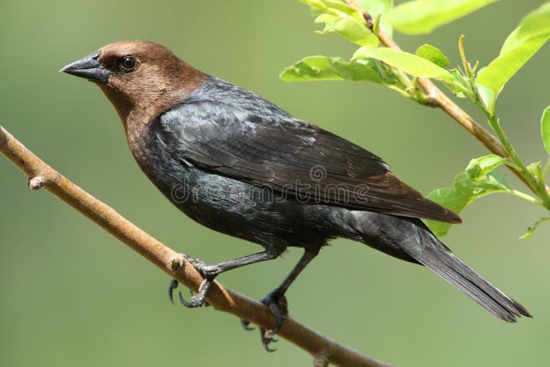 hövdad brun cowbird royaltyfri bild