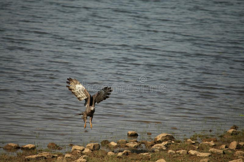 Hövdad fiskörn för grå färger, Haliaeetusichthyaetus, Tadoba nationalpark, Chandrapur, Maharashtra, Indien royaltyfri foto