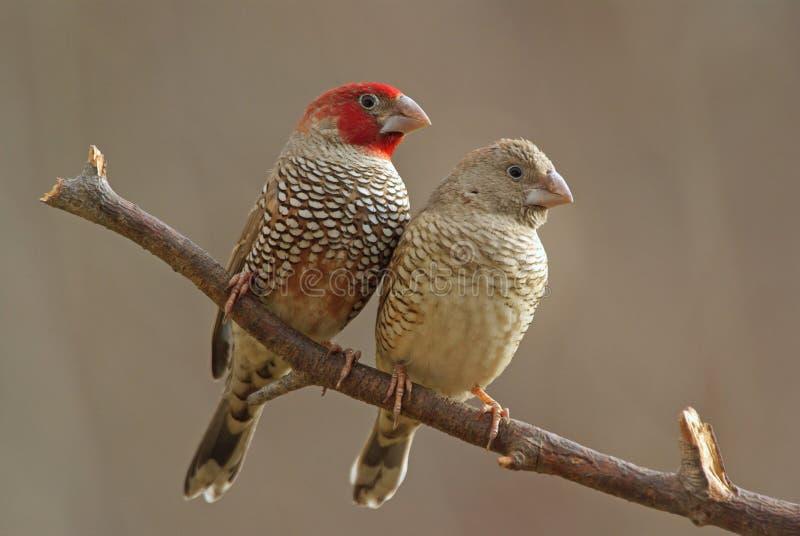 hövdad red för finches arkivfoto