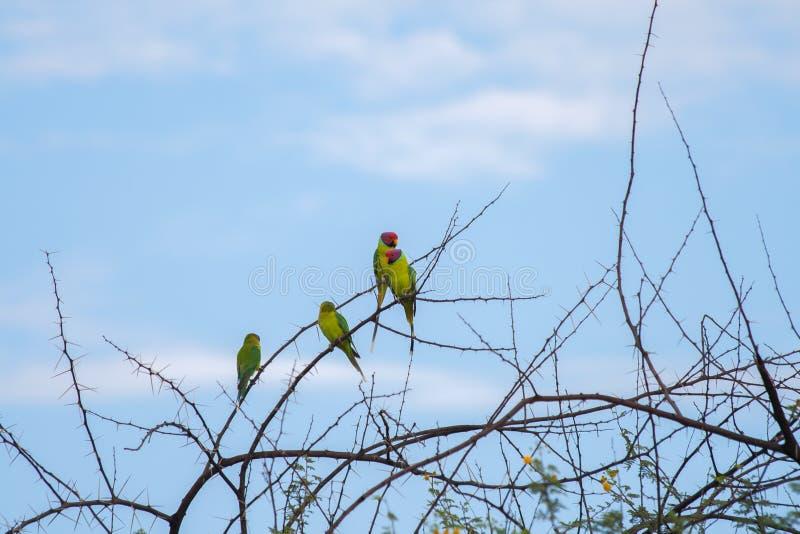 Hövdade parakiter för färgrik plommon på taggigt ris med blå himmel arkivbild