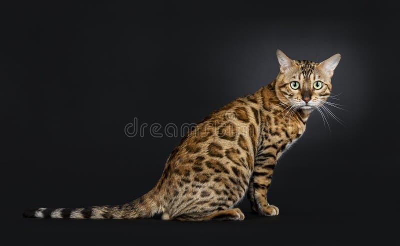 Hübsche glänzende junge Erwachsener Mann-Bengal-Katze, lokalisiert auf schwarzem Hintergrund lizenzfreie stockfotos