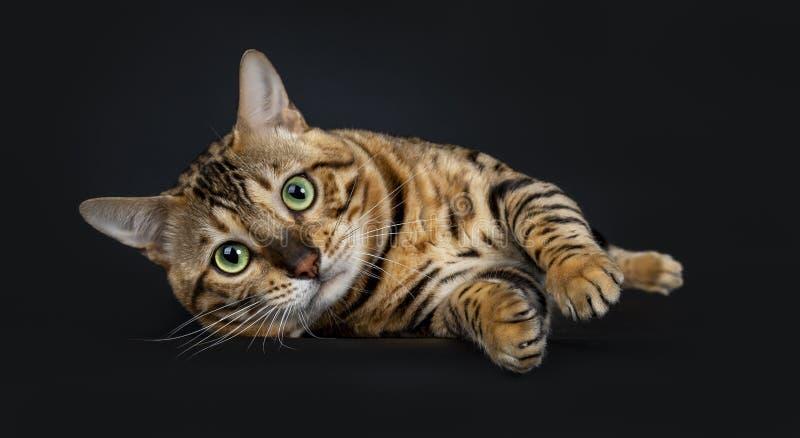 Hübsche glänzende spielerische Mann-Bengal-Katze, lokalisiert auf schwarzem Hintergrund stockfotografie