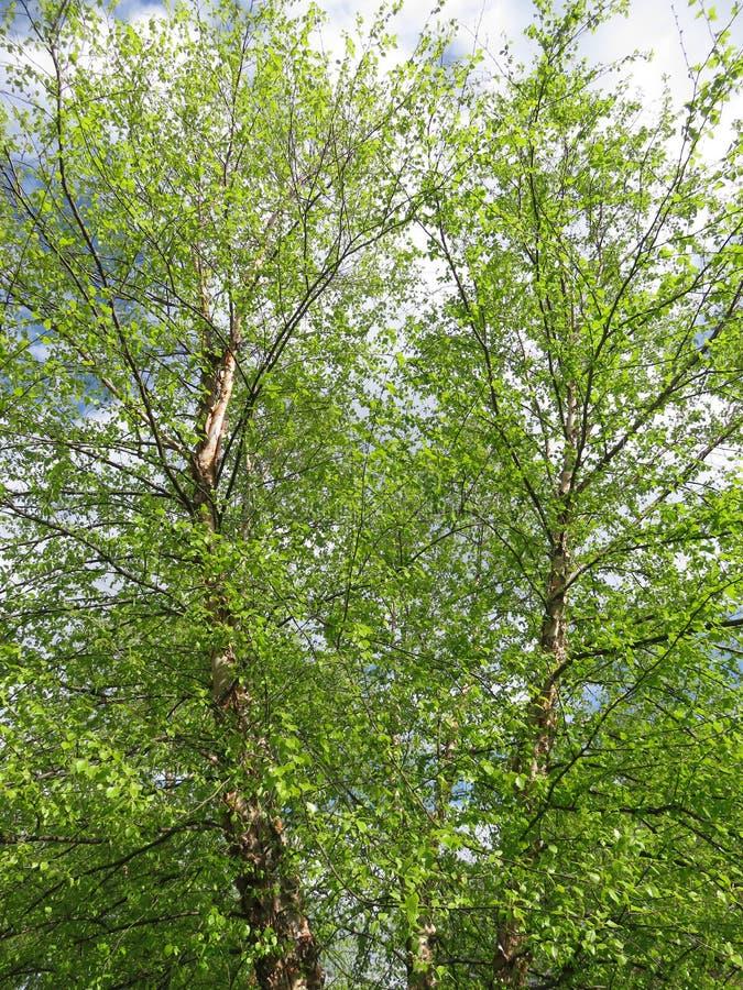 Hübsche grüne Bäume im Frühjahr im April stockfotografie