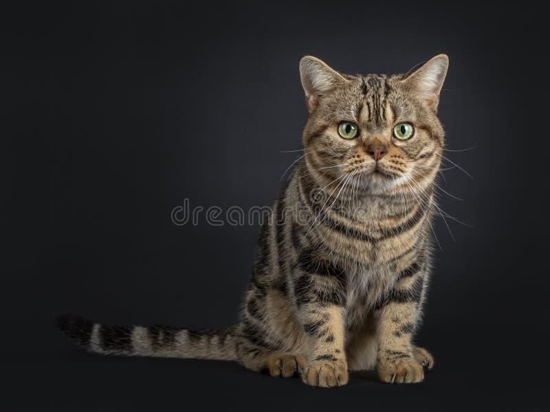 Hübsche junge erwachsene schwarze Amerikanisch Kurzhaar-Katze der getigerten Katze, lokalisiert auf einem schwarzen Hintergrund lizenzfreie stockbilder