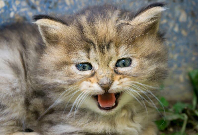 Hübsche kleine Straßenkatze der blauen Augen Nahes hohes Trieb des Kätzchengesichtes Straßenkatzen der getigerten Katze und Leben stockbild