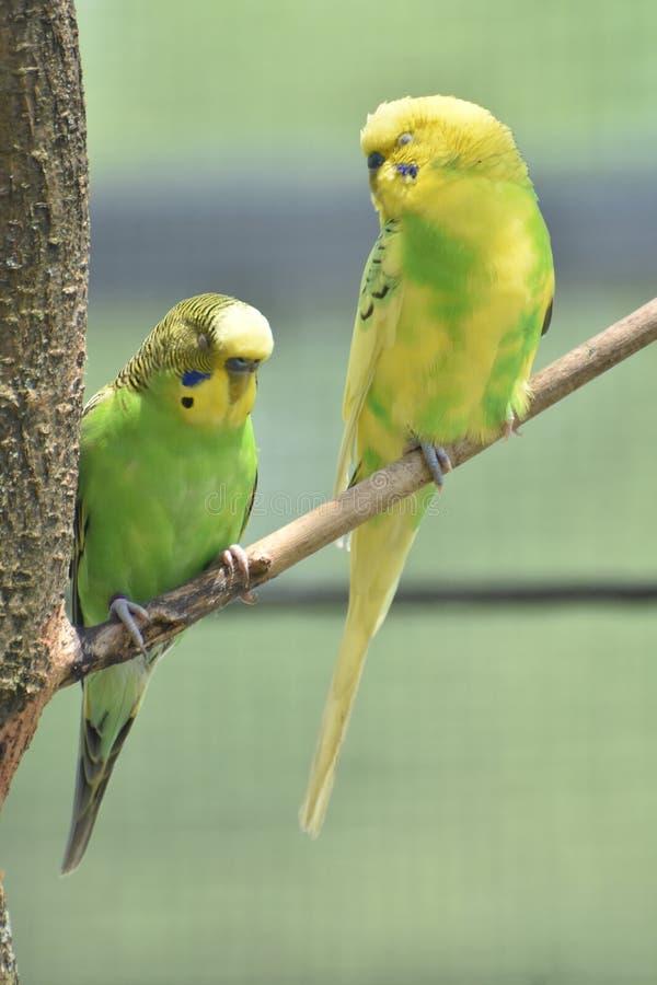 Hübsche Paare von buntem Budgies sitzend in einem Baum stockfotos