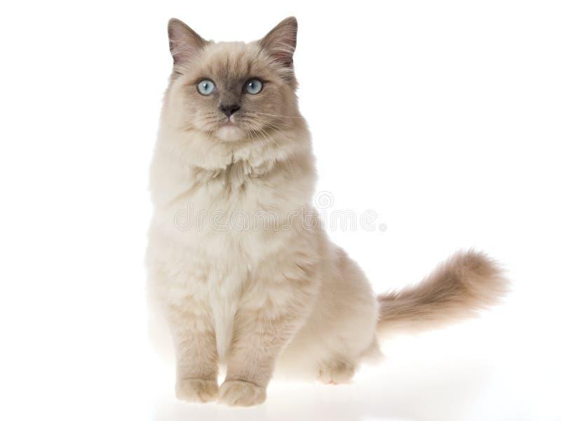 Hübsche Ragdoll Katze auf weißem Hintergrund lizenzfreies stockbild