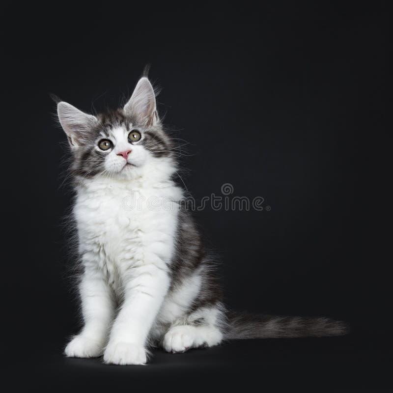 Hübsche schwarze getigerte Katze mit weißer Maine Coon stockfotos