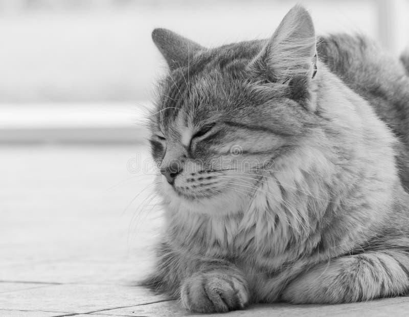 Hübsche silberne sibirische reinrassige Katze, die auf dem Boden, einfarbig sitzt lizenzfreie stockfotos