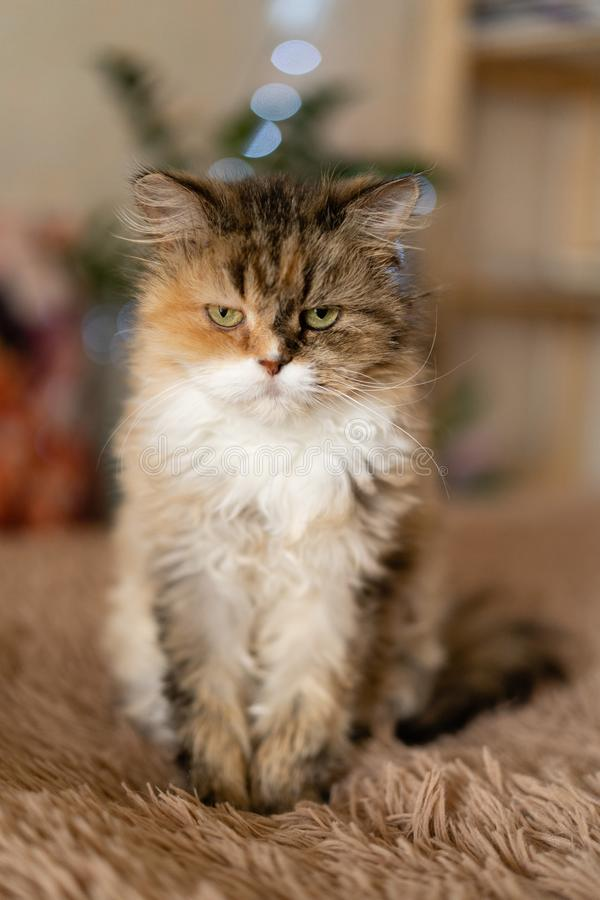 Hübsche traurige Katze sitzt auf einer Decke lizenzfreie stockfotos
