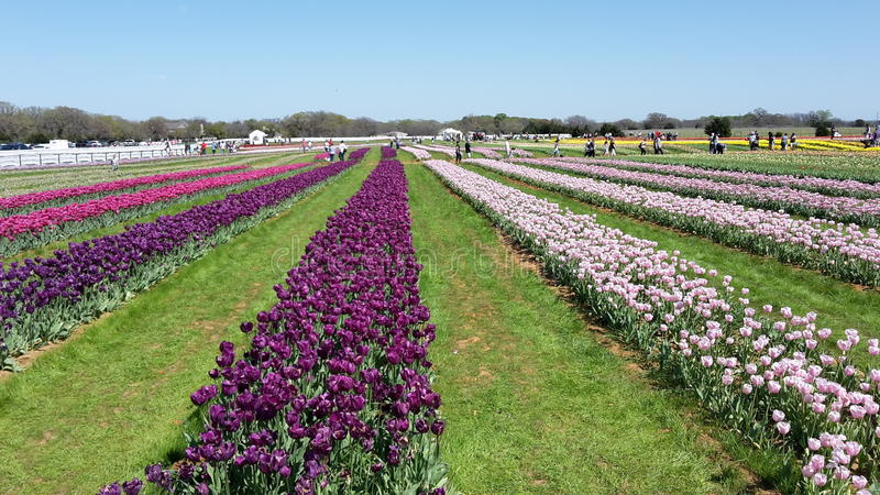 Hübsche Tulip Farm stockfotografie