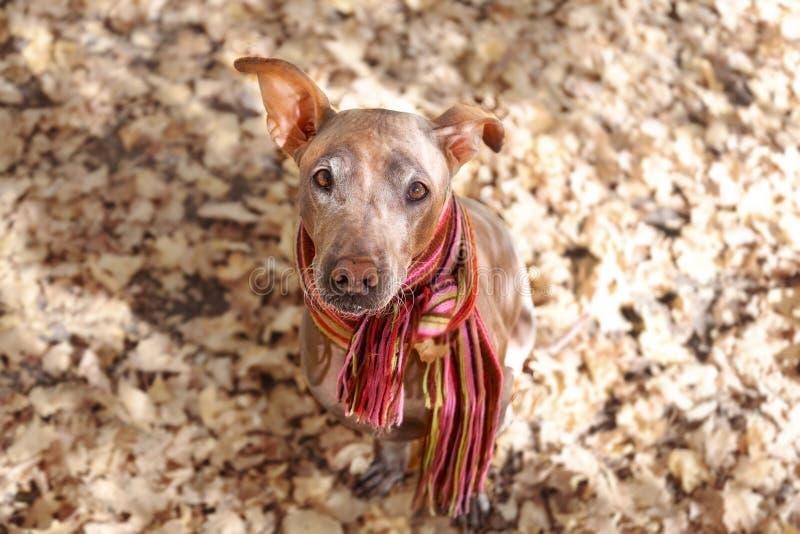 Hübscher blasser Hund im hellen abgestreiften Schal auf dem Herbst-/Fallhintergrund lizenzfreies stockfoto