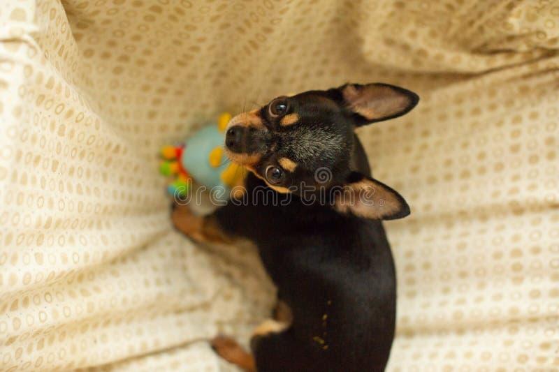 Hübscher brauner Chihuahuahund Schwarz-braun-weiße Farbe von Chihuahua lizenzfreies stockbild