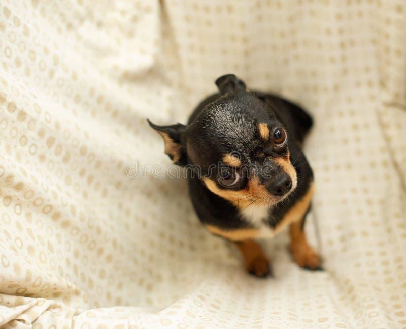 Hübscher brauner Chihuahuahund Schwarz-braun-weiße Farbe von Chihuahua stockbilder