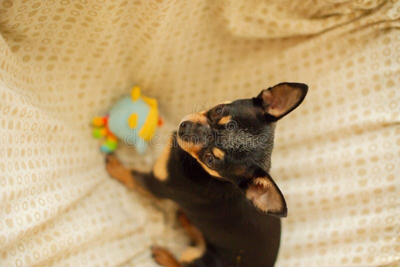 Hübscher brauner Chihuahuahund Schwarz-braun-weiße Farbe von Chihuahua lizenzfreies stockfoto