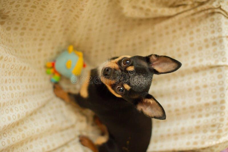 Hübscher brauner Chihuahuahund Schwarz-braun-weiße Farbe von Chihuahua stockfotografie