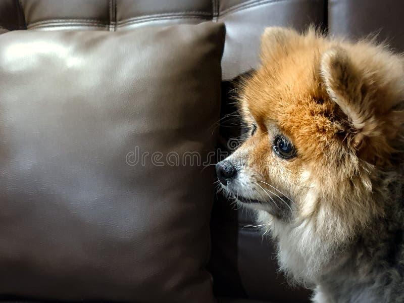 Hübscher brauner Hund auf der Suche nach etwas lizenzfreie stockfotografie