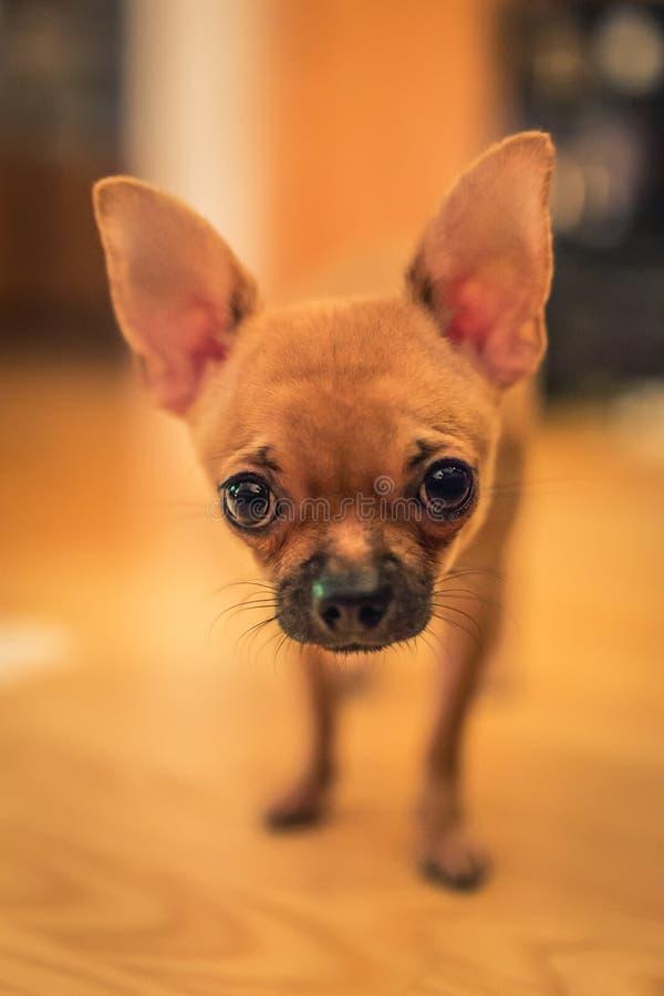 Hübscher hellbrauner Chihuahuahund, der gerade herauf die Kamera betrachtet stockfoto